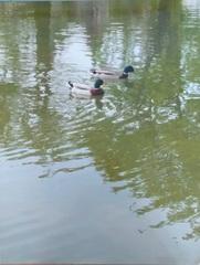 Kaczki pływające po odrze- fotografia konkursowa.