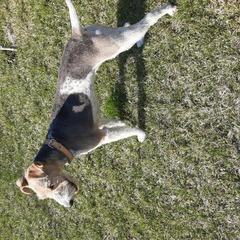 Pies Dasza na spacerze.