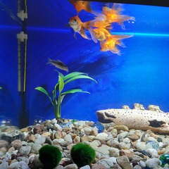 Złote rybki pływają w akwarium.